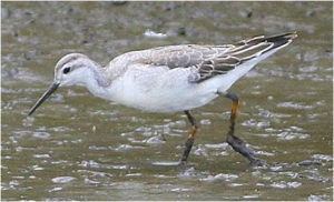 Image of a shorebird